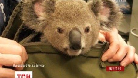 Австралийская полиция задержала женщину и изъяла у нее коалу