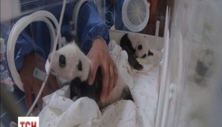 Місячні панденята-близнюки дебютували в Шанхайському парку дикої природи