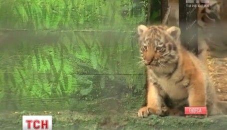 В Одесском зоопарке пара редких амурских тигров вывела двух тигрят на смотрины