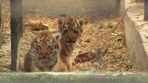 В одеському зоопарку показали малят рідкісного амурського тигра