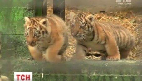 В Одессе посетителям зоопарка впервые показали амурских тигрят