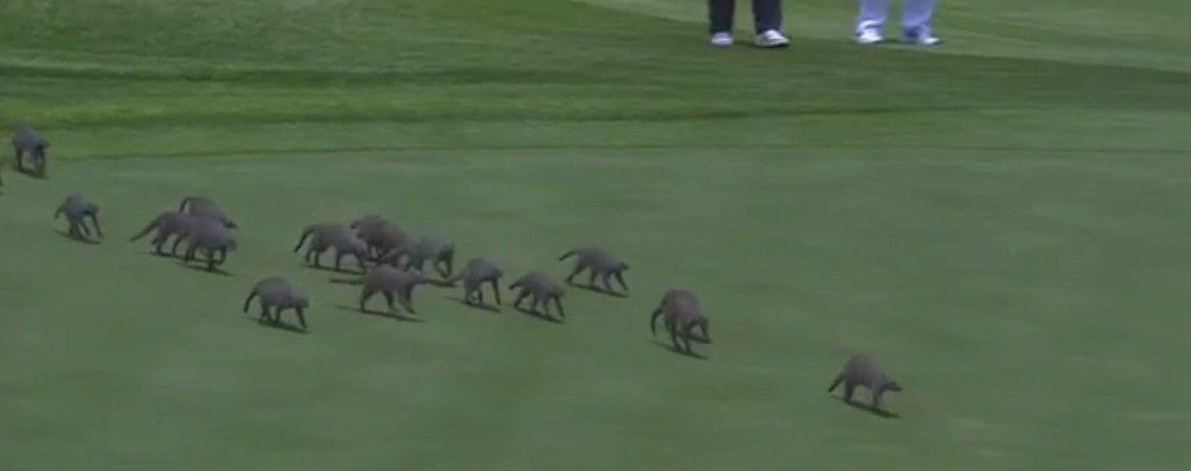 Зграя мангустів удерлася на поле під час турніру з гольфу