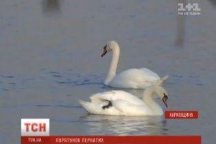 На Харківщині помирає родина червонокнижних лебедів