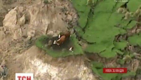 У Новій Зеландії фермери наважилися на порятунок корів, які опинилися у пастці після землетрусу