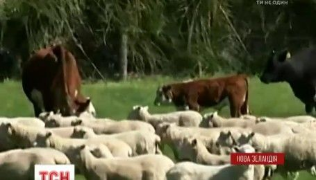 В Новой Зеландии спасли коров, которые оказались в ловушке после землетрясения