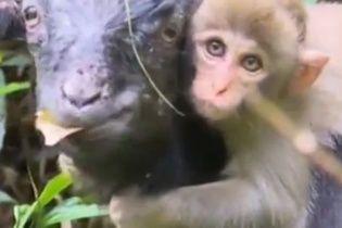 У Китаї стадо гірських кіз усиновило маленьку мавпу
