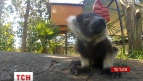 Реалити-шоу с австралийского зоопарка: за жизнью лемуров можно теперь наблюдать онлайн
