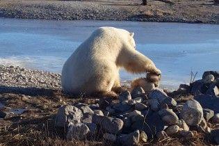 Білий ведмідь з'їв собаку там само, де зняли зворушливе відео про дружбу двох тварин