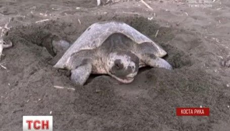 Тисячі черепах припливли до узбережжя Коста-Рики, аби відкласти там яйця