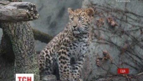 Плямиста прем'єра: в американському зоопарку показали маленького леопарда