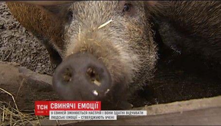 Відкриття британських вчених: свині як люди