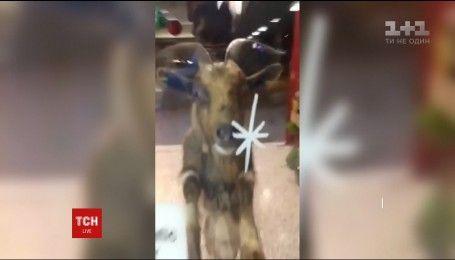 В Северной Ирландии козел, который пытался проникнуть в магазин, стал звездой интернета
