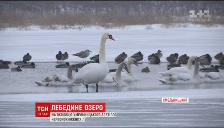 До озера на околиці  Хмельницького злетілися майже дві сотні лебедів