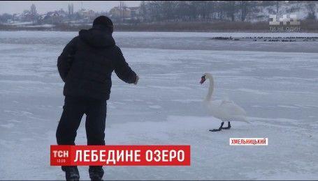 В Хмельницькому небайдужі намагаються врятувати від голоду та морозу зграю лебедів