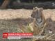 Во Флориде редкий малайский тигренок впервые показался людям