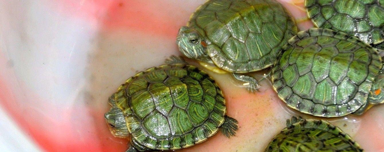 У реки Боливии выпустили более ста тысяч маленьких черепах