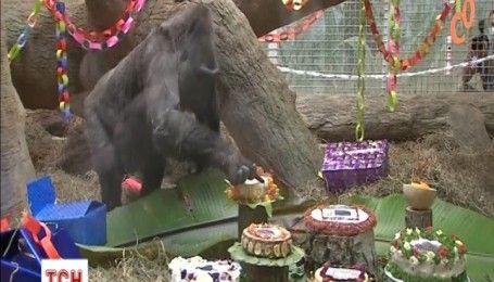 Горила-довгожителька з розмахом відсвяткувала 60-й день народження