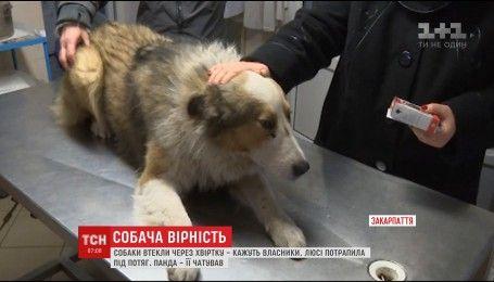 На грани жизни и смерти: на Закарпатье двое суток пес не отходил от собаки, которая попала под поезд