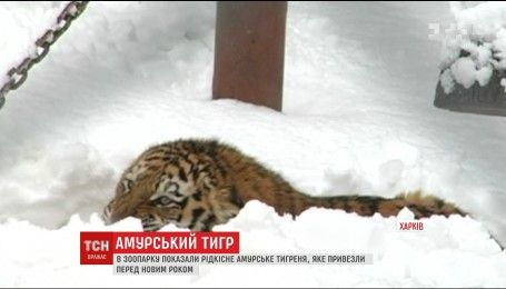 В харьковском зоопарке показали редкого амурского тигра, на которого там ждали 15 лет