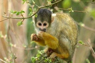 Сумська міськрада намагалася через Prozorro придбати мавпу-капуцина