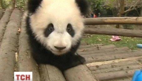 Самое милое видео: неуклюжие игры пандят покорили зрителей