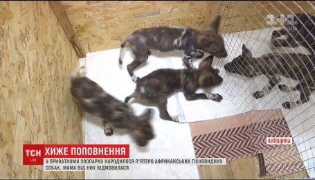Пятеро африканских гиеновидных собак родилось в частном зоопарке под Киевом