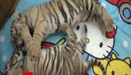 На китайский новый год в тайском зоопарке родились трое тигрят