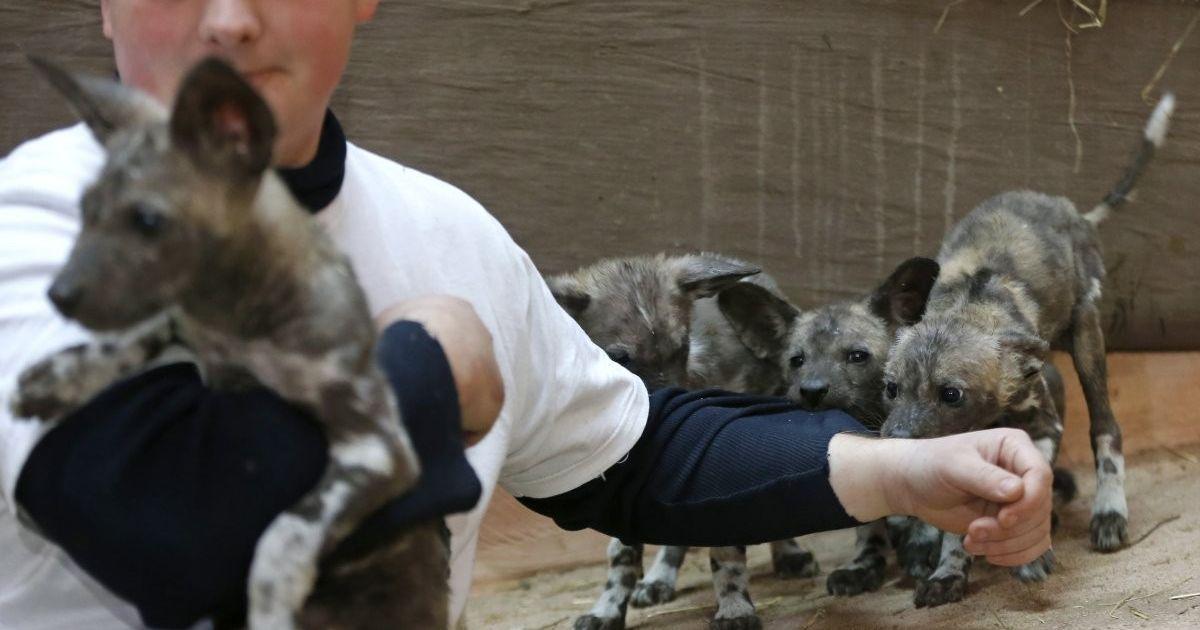 """Цуценята африканського гієнового собаки в зоопарку """"XII місяців"""", у селі Демидів (Київська область). У зоопарку показали п'ятьох цуценят африканського гієнового собаки, що народились 3 грудня 2016 р. Це перший випадок народження гієнових собак в зоопарку України. @ УНІАН"""