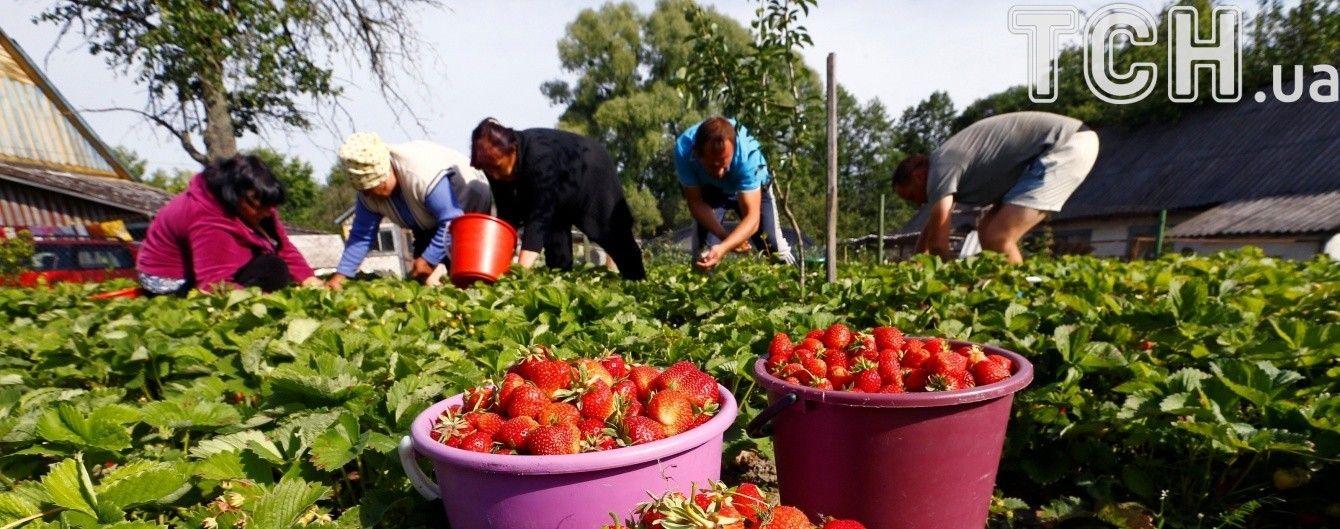 Украина удвоила экспорт клубники, а Польша может потерять до 40% урожая