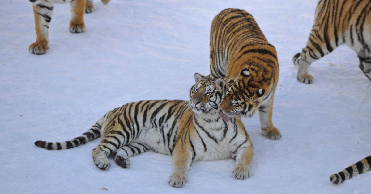 Фото сибірських тигрів @ Reuters