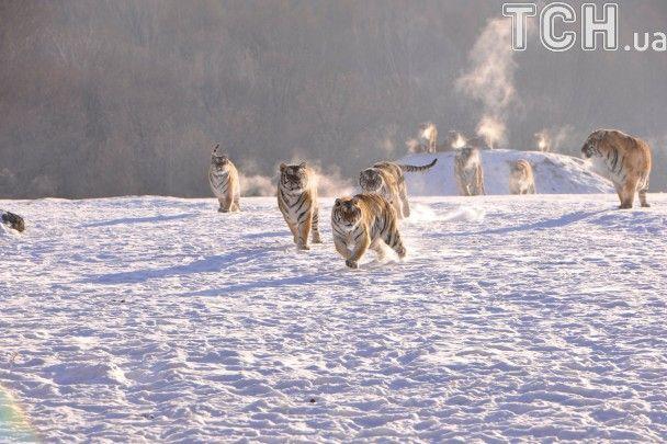 Полювання та хижі поцілунки. Reuters показало життя вгодованих тигрів у Китаї