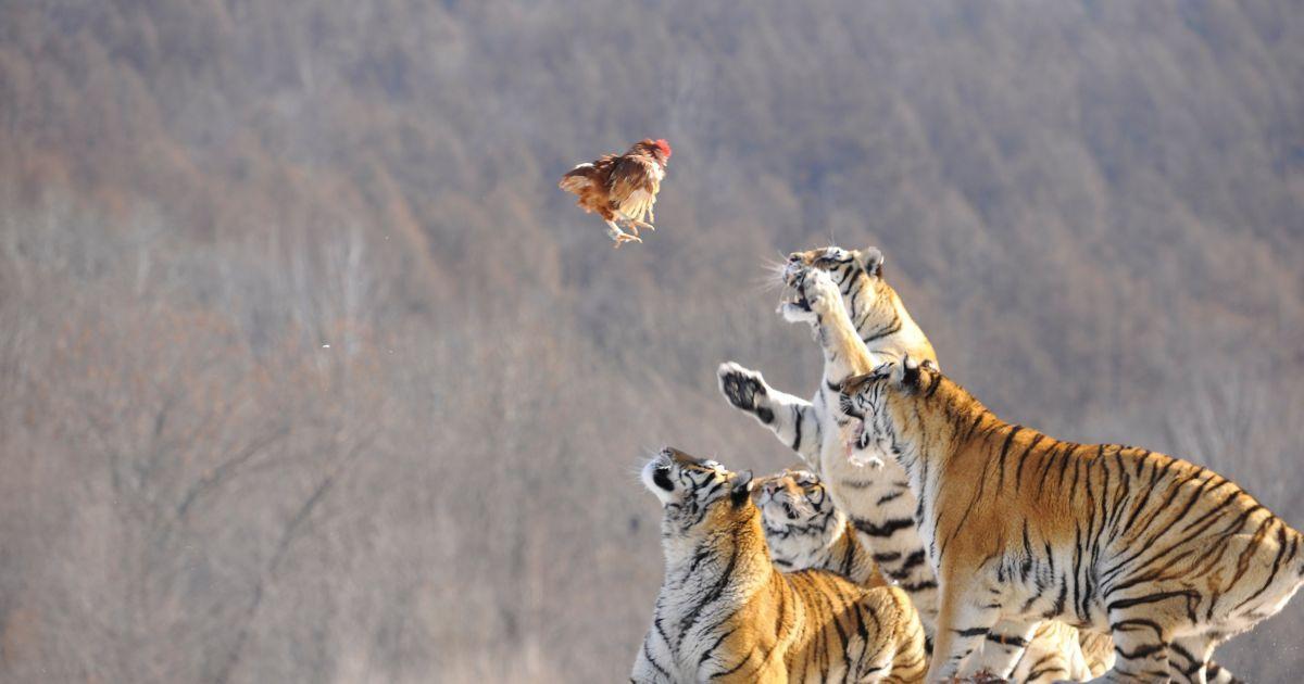 Амурські тигри зловлять здобич на базі розведення тигрів у провінції Хейлунцзян, Китай. @ Reuters