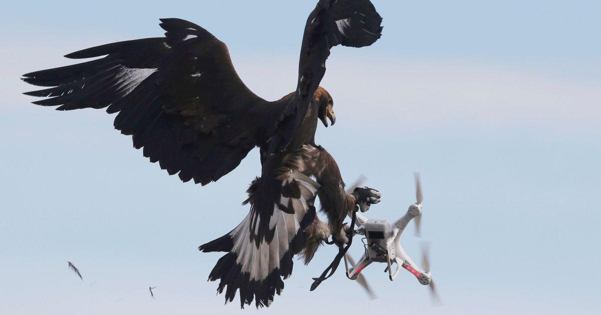 Беркут атакує безпілотник під час військових навчань на базі Мон-де-Марсан ВПС Франції. В Європі птахів тренують для того, щоб вони збивали дрони. @ Reuters