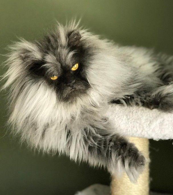 Густа шерсть і погляд, що спопеляє. Instagram завойовує волохатий ненависний кіт