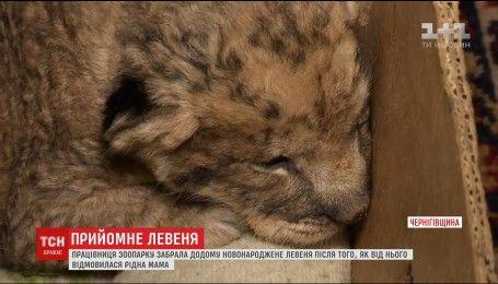 На Чернігівщині працівниця зоопарку вдома доглядає левеня, від якого відмовилася левиця