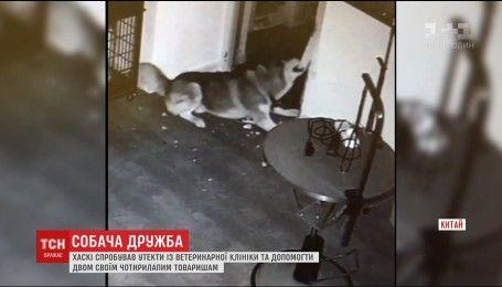В Китае собака, убегая из клетки в ветеринарной клинике, освободила еще 2 псов