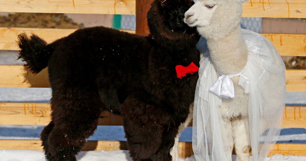 Молоді альпаки Ромео і Джульєтта стоять в День святого Валентина в зоопарку у Красноярську, Росія. @ Reuters