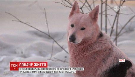 У Тюмені до Дня всіх закоханих вуличних собак пофарбували в рожевий