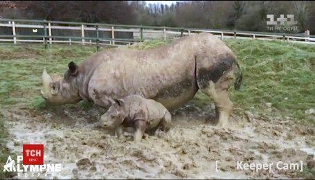 Грязевые ванны: в британском зоопарке впервые вышел на улицу детеныш носорога