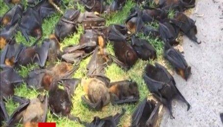 Сотни летучих лисиц погибли из-за жары в Австралии