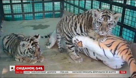 В Индии осиротевшим тигрятам помогла игрушечная мама