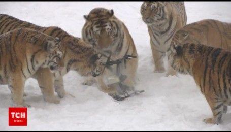 Сибирские тигры поймали беспилотник в Китае