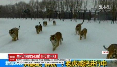 В Китае тигров тренируют с помощью летаюющего дрона