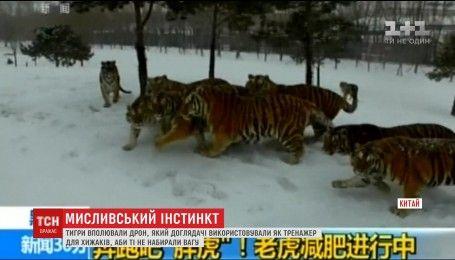 Тигры поймали дрон, который смотрители использовали для их тренировок