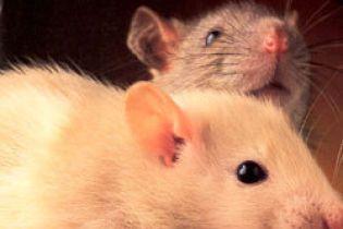 У лікарні під Москвою пацюк покусав двох немовлят