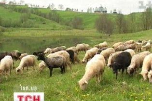 Американці рятуватимуть українських овець