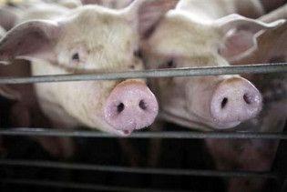 В Єгипті через грип виріжуть усіх свиней