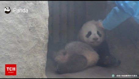 Наймиліша професія: працівниця дитсадка для панд має гладити малюків, щоб ті не образилися