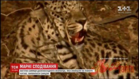 Самка редкого вида леопарда, оказалась упитанным самцом