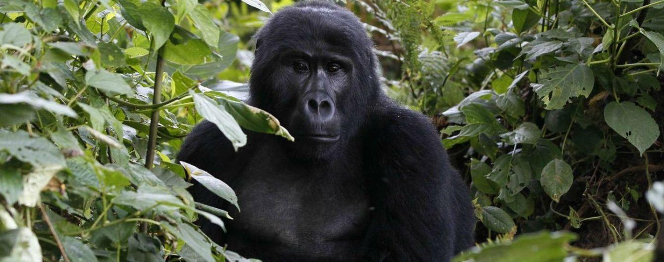 """Google Photos не видає зображення за запитом """"горила"""", щоб уникнути расистських помилок"""